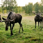 Moose travel amongst birch in Swedish field