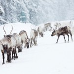 Reindeer in a Swedish winter landscape